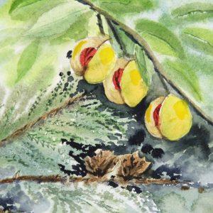 Nutmeg Cedar